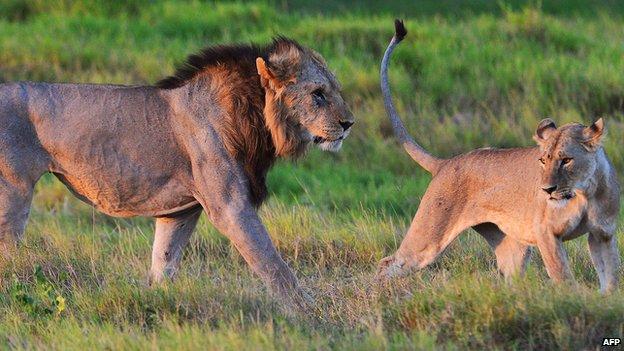 Wild lions in Kenya