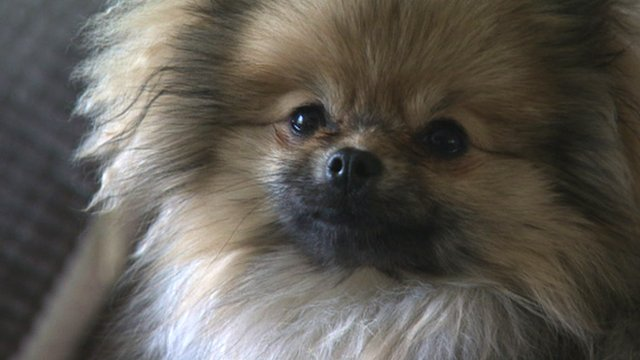 Nicola Adams' Pomeranian dog, Bailey