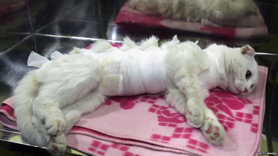 cat following surgery