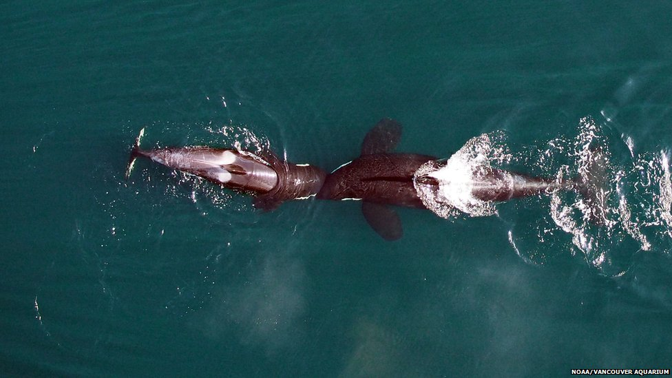 killer whales nuzzling