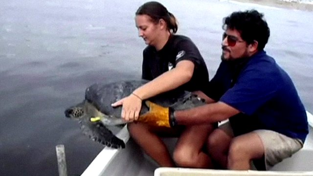 Turtle being released