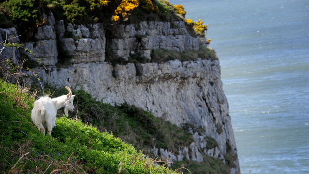 A goat on the Great Orme