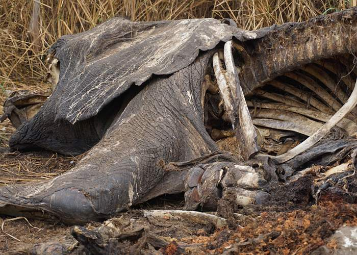 Elephant carcass, Garamba National Park, DR Congo
