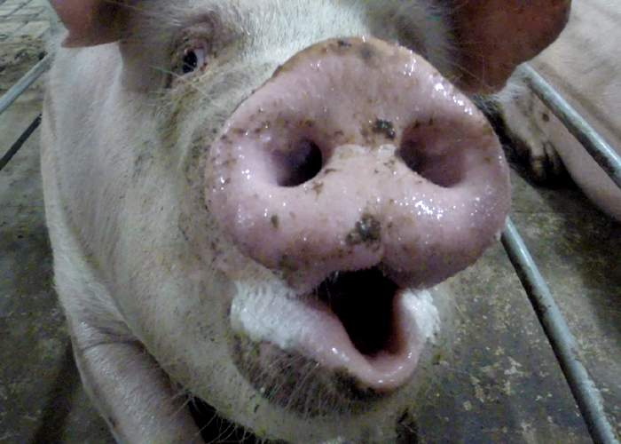 Pig bred for its meat and corneas