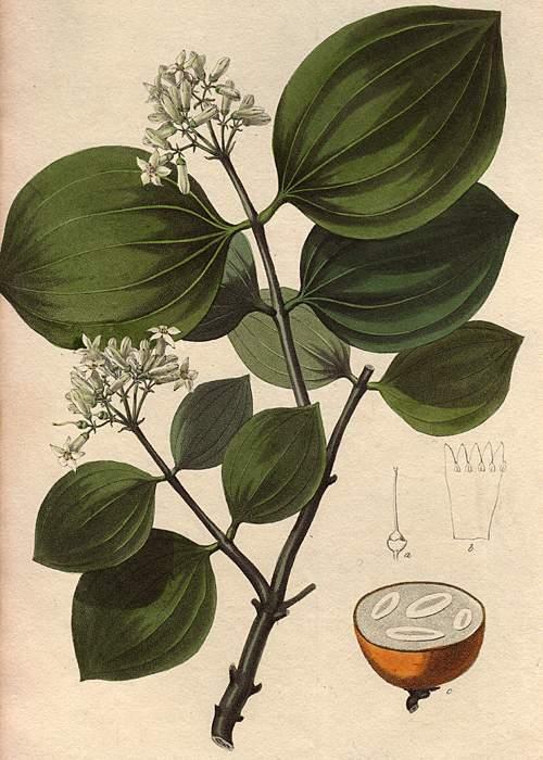 Illustration of a Strychnine tree (Strychnos nux-vomica)(SPL)