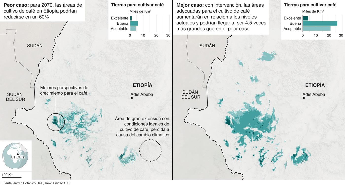 Mapas que muestran el cambio en las tierras idóneas para el cultivo de café en Etiopía basados en información de investigaciones del Real Jardín Botánico de Kew.